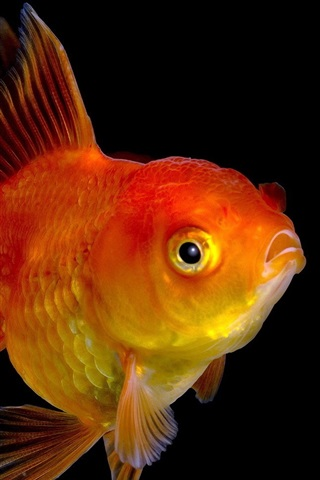 iPhone Wallpaper Goldfish close-up, black background