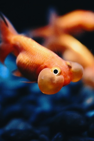 iPhone Wallpaper Goldfish underwater, bubble, stones