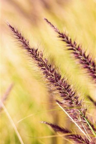 iPhone Wallpaper Grass spikelets, blurry