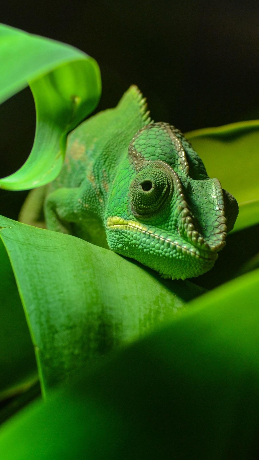 緑色のカメレオン 爬虫類のクローズアップ 葉 1080x1920 Iphone 8 7