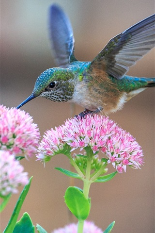 iPhone Wallpaper Hummingbirds and pink flowers