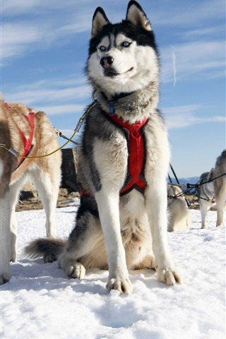 iPhone Wallpaper Husky dogs, snow, Alaska