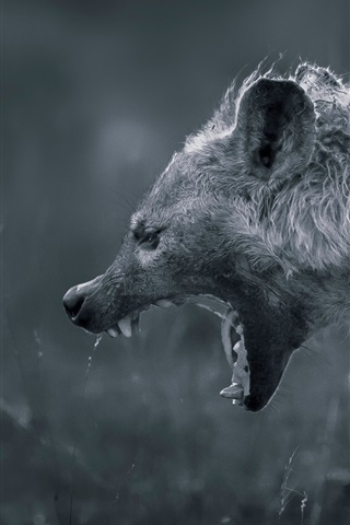 iPhone Wallpaper Hyena angry, white and black