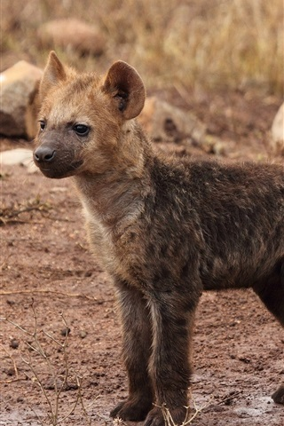 iPhone Wallpaper Hyena cub close-up