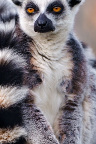 iPhone Wallpaper Lemur front view