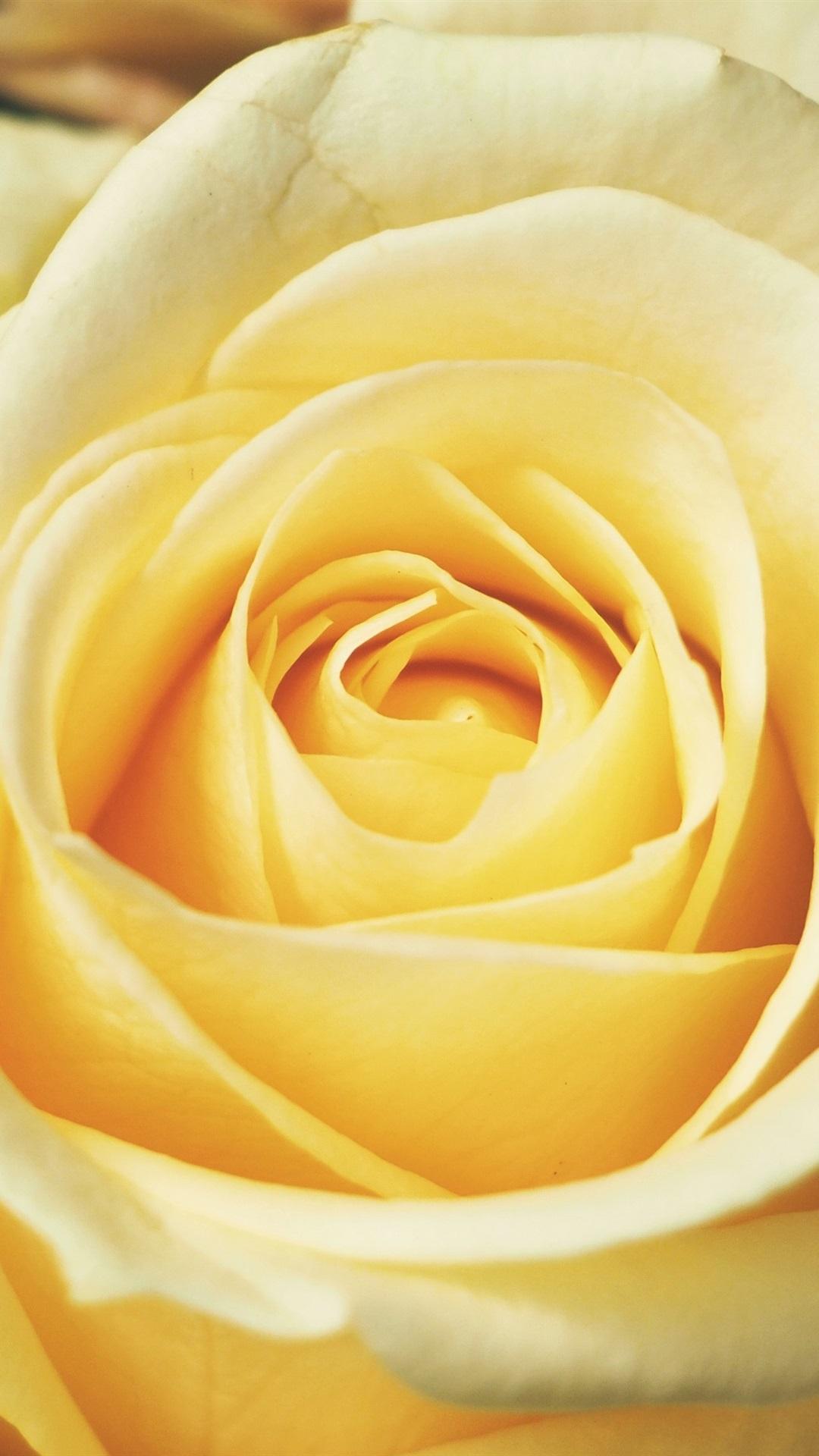 Light Yellow Rose Close Up 1080x1920 Iphone 8766s Plus