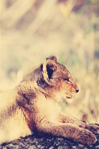 iPhone Wallpaper Lion cub rest