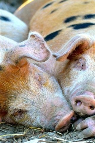 iPhone Wallpaper Little pigs lying to sleep