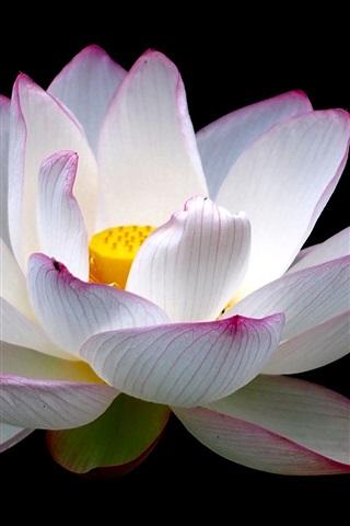 iPhone Wallpaper Lotus, flower close-up, white pink petals, black background