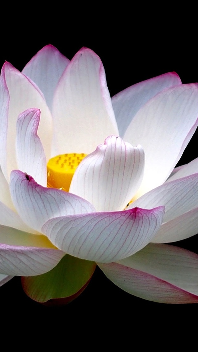Lotus Flower Close Up White Pink Petals Black Background 640x1136