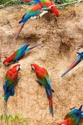 iPhone Wallpaper Many parrots, wall