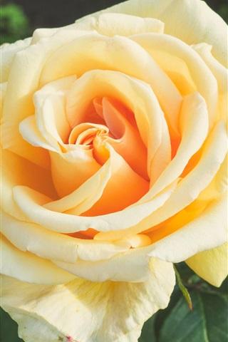 iPhone Wallpaper Orange rose