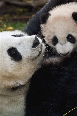 iPhone Wallpaper Panda and cub, playful
