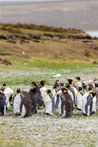 iPhone Papéis de Parede Pinguins, rebanho