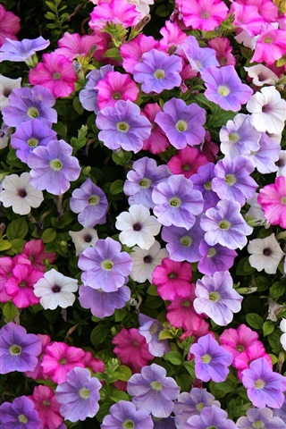 iPhone Wallpaper Petunia flowers, white, purple, pink