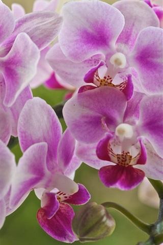 iPhone Wallpaper Phalaenopsis, pink flowers