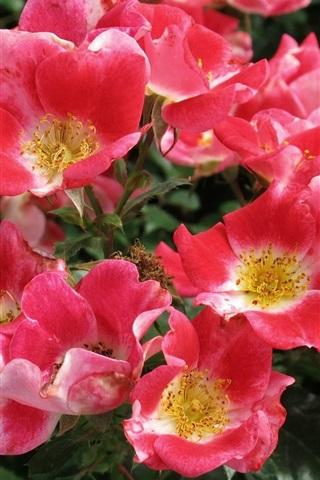 iPhone Wallpaper Pink rose flower, twigs, leaves