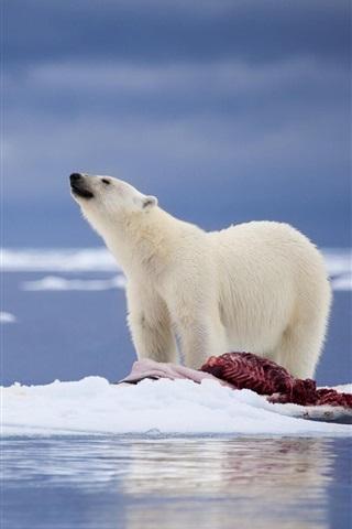 壁纸 北极熊,食物,雪,海 1920x1200 Hd 高清壁纸 图片 照片