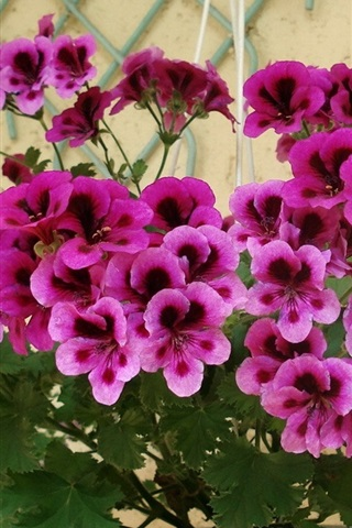 iPhone Wallpaper Purple geranium flowers