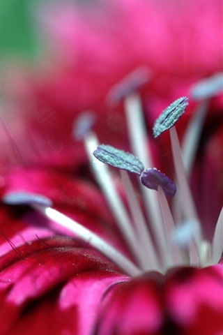 iPhone Wallpaper Red flower macro photography, pistil