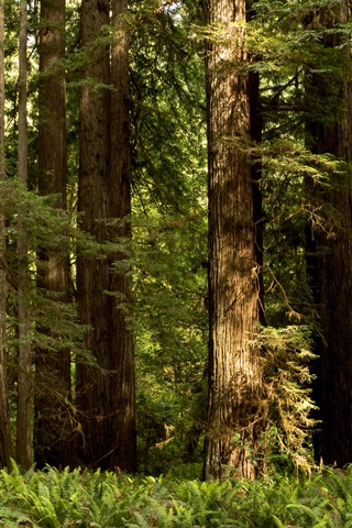 iPhone Wallpaper Redwood National Park, bushes, trees, USA