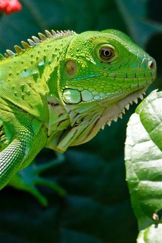 iPhone Wallpaper Reptile lizard, green, leaves