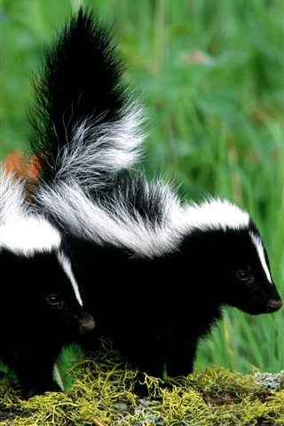iPhone Wallpaper Skunks couple, black and white fur