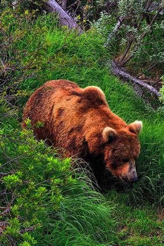iPhone Wallpaper Summer, brown bear, grass