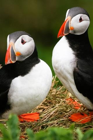iPhone Hintergrundbilder Drei Papageientaucher