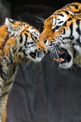 iPhone Wallpaper Tiger mother and cub, caring