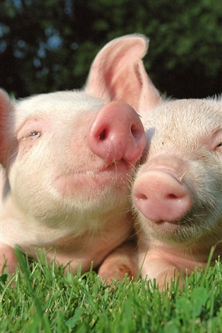 iPhone Wallpaper Two pigs in the grass