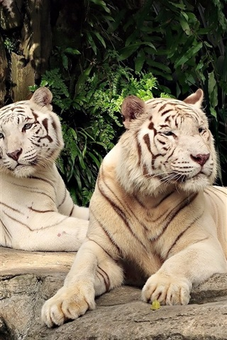 iPhone Wallpaper Two white tigers rest