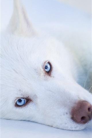 iPhone Wallpaper White dog, blue eyes, sleep