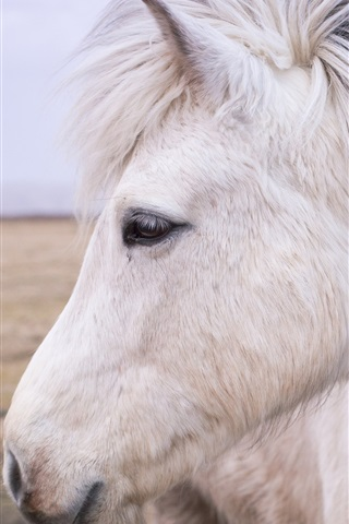 iPhone Wallpaper White horse front view, head, mane