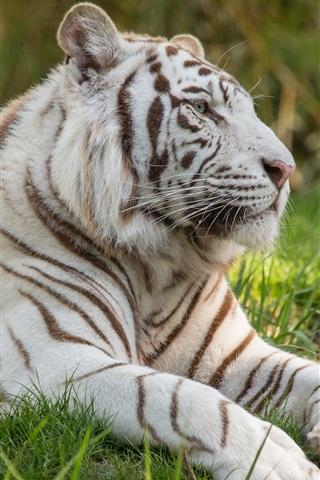 iPhone Wallpaper White tiger, grass, big cat