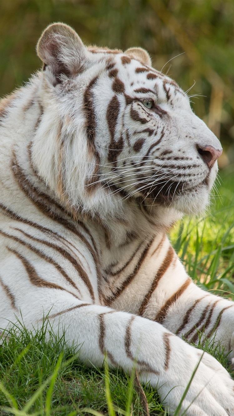 壁纸 白老虎,草,大猫 3840x2160 Uhd 4k 高清壁纸 图片 照片