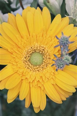 iPhone Wallpaper Yellow daisy flower, bouquet