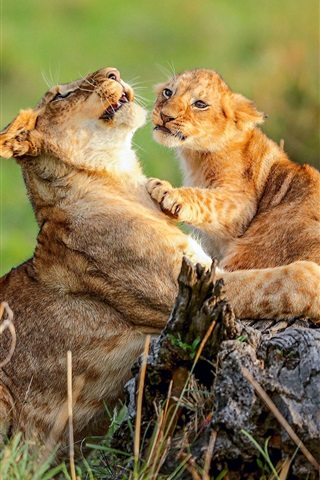 iPhone Wallpaper African, lioness and lion cub, wildlife