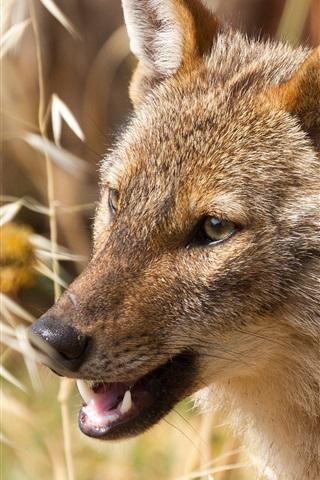 iPhone Wallpaper African wolf, predator, grass