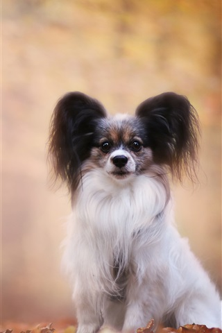 iPhone Wallpaper Autumn, furry dog, bokeh