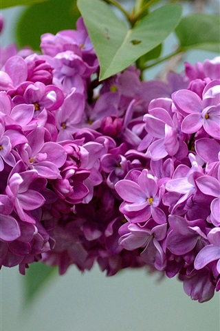 iPhone Wallpaper Beautiful lilac flowers, inflorescence