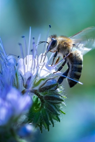 iPhone Wallpaper Bee and blue flowers, insect photography
