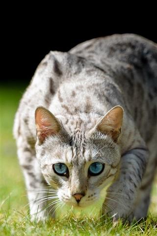 iPhone Wallpaper Blue eyes cat front view, grass