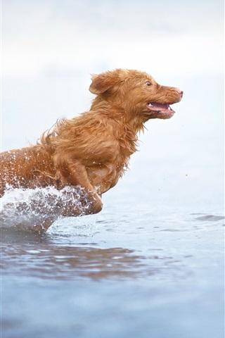 iPhone Wallpaper Brown color dog run in water