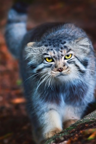 iPhone Wallpaper Cute cat look at you, yellow eyes