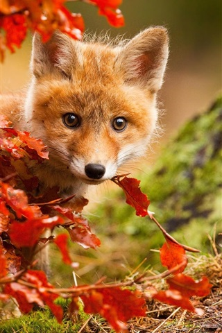 iPhone Wallpaper Cute fox in autumn, red leaves