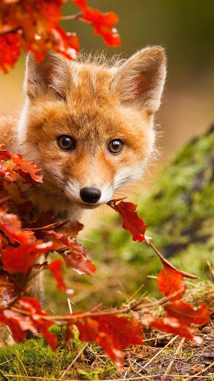 Wallpaper Cute fox in autumn, red leaves 1920x1440 HD ...