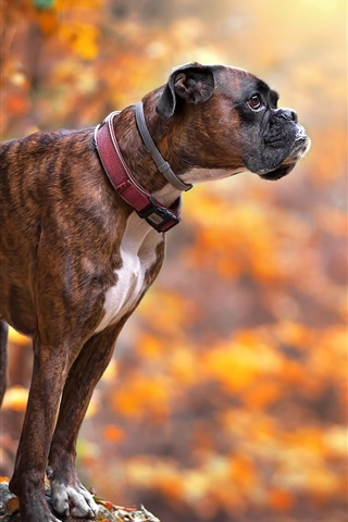 iPhone Wallpaper Dog in autumn, bokeh