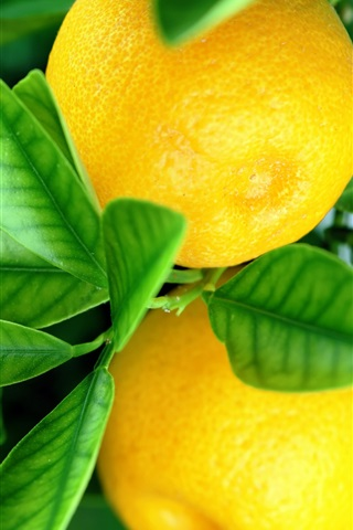 iPhone Wallpaper Fresh oranges, green leaves