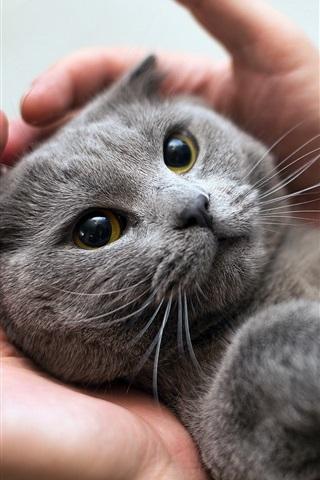 iPhone Wallpaper Furry gray kitten in hands